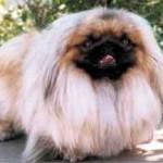 У собак породы пекинес легендарное прошлое.  Упоминание о них находят в...