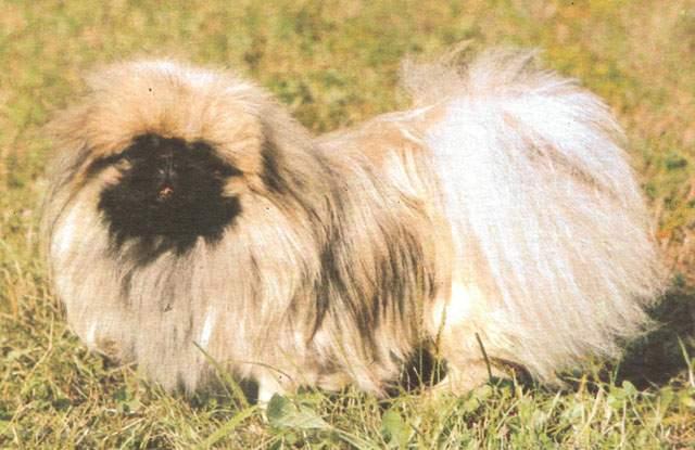 Пекинес.  Порода собак.